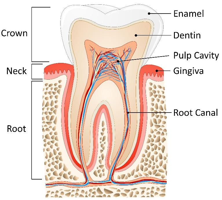Root Canal Therapy Mount Pleasant SC
